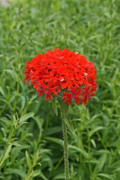 Palavarakkaus Lychis chalcedonica Garden Ideas, Flora, Plants, Animals, Animales, Animaux, Animal, Landscaping Ideas, Plant
