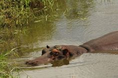 11 reasons hippos are the best animals ever. That's an exceptional hat right there.