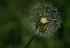 Visit the post for more. Dandelion Flower, Summer Sun, Bergen, Norway, Travel Photography, Seasons, Flowers, Plants, Seasons Of The Year