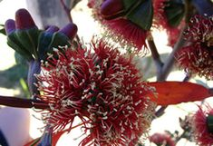 The Australian Native Plant Guide