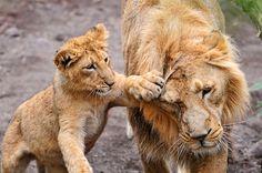 «Hey, wait dad!» by Tambako the Jaguar, via Flickr