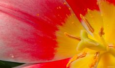 Tulip details… Royal Botanical Gardens,Burlington, ON. Canada