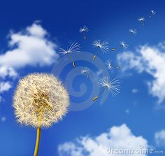 Download Dandelion Seeds Blowing In The Wind Royalty Free Stock Image for free or as low as Mex$2.72MXN. New users enjoy 60% OFF. 23,301,745 high-resolution stock photos and vector illustrations. Image: 6789296