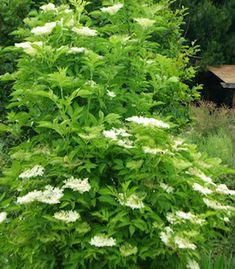 Strictly medicinal seeds Elderberry, Black (Sambucus nigra) packet of 50 seeds, organic  $4.95  Family:  Honeysuckle (Caprifoliaceae)  Hardy to Zones 4 to 7