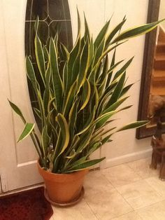 Snake Plant (sansevieria trifasciata): Your plant is a popular tropical, a Sansevieria species prized for its architectural form and grown outdoors in warm winter areas and as a houseplant elsewhere. Does best in bright, indirect light indoors, but can survive on much less light.  Water when soil feels dry at the depth of your first knuckle.  Do not allow plant to sit in water as this may lead to root rot. Feed with a slow-release fertilizer formulated for container plants.