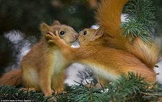 "simply-beautiful-world:  ❥‿↗⁀simply-beautiful-world    ""Come here darling"" magicalnaturetour:  I'm just nuts about you! Baby squirrels share a kiss as they shelter in a tree. Photo by Sergey Bezberday via Mail Online"
