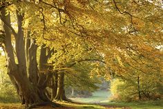 One of the woodland paths on the Ashridge Estate © National Trust Images / Michael Caldwell Tree Story, Autumn Walks, British Countryside, Great British, Filming Locations, Mellow Yellow, Country Life, Mother Nature, Britain
