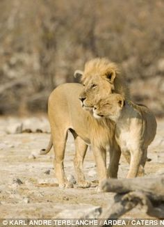 While a lioness and a lion have a cuddle