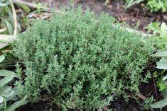 5 hierbas aromáticas para cultivar en interior