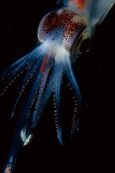 Abraliopsis Squid This squid has small light organs on the underside of its body for camouflage. It uses this illumination to blend in with the sky, hiding its silhouette from predators watching from below. Image: Steve Haddock/Monterey Bay Aquarium Research Institute.