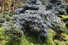 Picea pungens 'Prostrata'