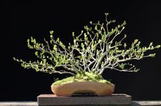 Image result for clump bonsai