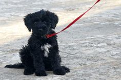 The Portuguese Water Dog is a small, energetic dog hailing from Portugal. The males weigh up to 60 pounds while the females can weight up to about 50 pound