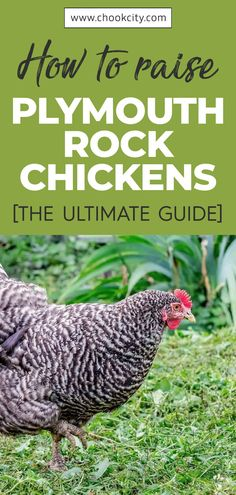 Every chicken needs attention to ensure they remain healthy, happy, and productive. With the Plymouth Rock, there is not much that is required from you for it to thrive. They do not need any special grooming practices, diets, or maintenance, making them some of the best for all chicken keepers. Read more.. . . . #ChookCity #Chicken #RaiseChickens #BackyardChickens #UrbanGarden #UrbanHomestead #Homestead #ChickenLove #Chickenlife #FarmLife #Chickens #PlymouthRockChicken Chicken Facts, Chicken Life, Chicken Feed, Chicken Eggs, Chicken Coops, Different Breeds Of Chickens, Types Of Chickens, Raising Farm Animals, Raising Chickens