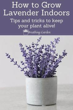 Why (And How) To Grow An Indoor Lavender Plant! - Breathing Garden
