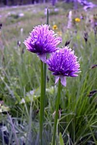 Wild Chives - Allium schoenoprasum - description with culinary and medical uses Allium Schoenoprasum, Cattle Panels, Bucket Gardening, Border Plants, Companion Planting, Medicinal Plants, Herb Garden, Purple Flowers, Montana