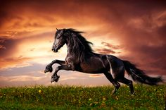 Photo about Beautiful black friesian stallion running gallop on the field on sunset. Image of object, male, card - 26769387 Painted Horses, Horse Galloping, Friesian Horse, Palomino, Black Horses, Wild Horses, Horse Photos, Horse Pictures, Pretty Horses