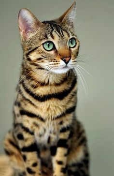 Bengal Cat Kittens Breed is a domestic cat breed developed to look like exotic jungle cats such as leopards, ocelots, margays and clouded leopards. Pretty Cats, Beautiful Cats, Animals Beautiful, Cute Animals, Pretty Kitty, Gorgeous Eyes, Funny Animals, Wild Animals, Beautiful Creatures