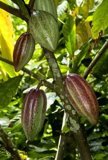El Cacao El cacao es verdaderamente uno de los milagros de la naturaleza que proporciona mucho de lo que la gran mayoría de las personas necesita. A decir verdad, si el cacao fuera una medicina, sería una de la más importante de todos los tiempos.