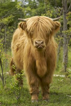 """Scottish Highland cattle - looks like my Gabriel I had for ten years and then he made 900 lbs. of hamburger for the """"Ronald McDonald House"""" here in town. Scottish Highland Cow, Highland Cattle, Scottish Highlands, Beautiful Creatures, Animals Beautiful, Farm Animals, Cute Animals, Fluffy Cows, Cute Cows"""