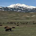 A herd of bison with snow-capped mountain in background. Yellowstone National Park