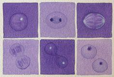 Mini Purple Mitosis  - original watercolor - cell cycle