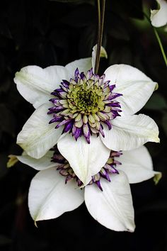 I love the detail in this Clematis, I wonder if it comes in a climbing variety.
