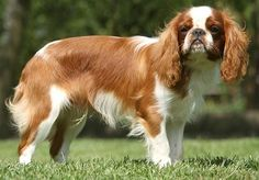 KING CHARLES SPANIEL/ENGLISH TOY SPANIEL