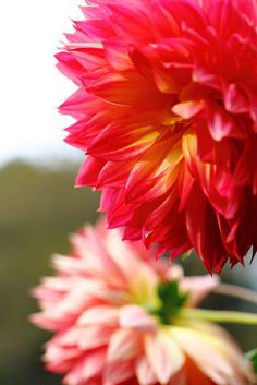 "Dahlia ""Bossa Nova"" on Flickr."
