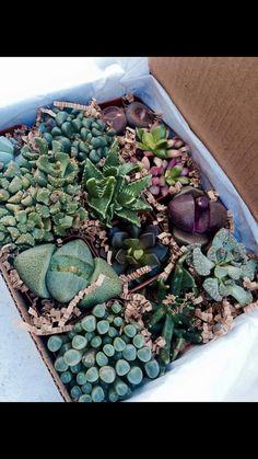 Succulent Treasures Mimicry Box. A Dozen Assorted Premium mimic family gift box. Lithop rocks & more.