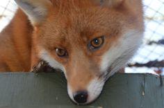 Pudding the fox 27/11/2014