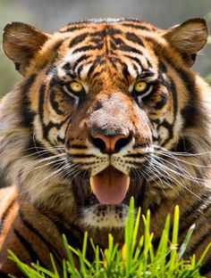 When A Tiger Focuses Its Forward Facing Eyes Piercing Gaze Has Excellent Depth Perception To Help It Pounce On Prey Photo Paul EM