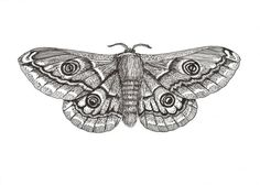 Lesser Emperor Moth 5 x 7 original ink drawing on fiber paper by RogueOddities