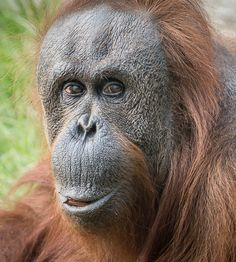 Janey the 53-year-old orangutan poses at the San Diego Zoo (pic by Helene Hoffman)