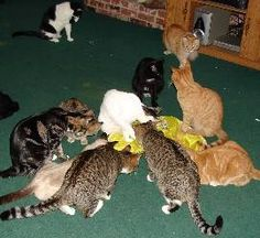How to have happy, healthy cats with less frustration in a large multiple cat household.