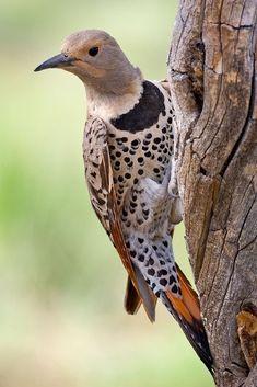 Gouden Grondspecht - Northern flicker (Colaptes auratus)