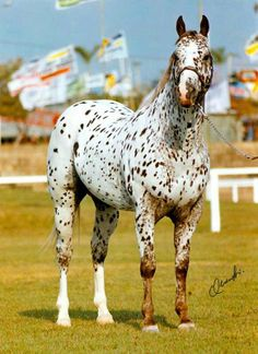 Leopard Appaloosa!  Beautiful!  Spots and more.
