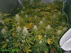 Seguimiento 9 Critical de Advanced Seeds 200 fotos | AutoCultivo De Marihuana