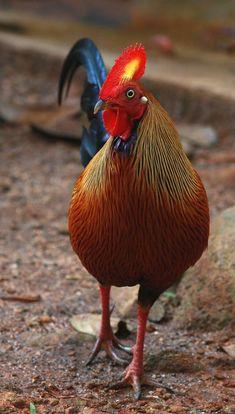 Sri Lanka's national bird, the Jungle Fowl