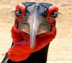 The Ground Hornbill - a large African bird with long, beautiful eyelashes which are actually modified feathers that protects its eyes from dust.