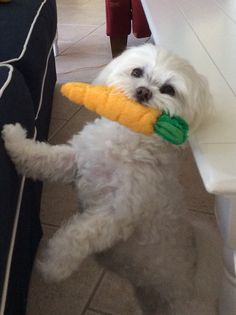 Lily loves carrots This reminds me so much of my little Maltipoo man who also loves his carrot from the Easter Bunny.