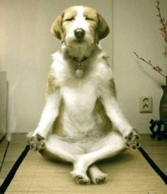 meditating dog, this is hanging in the nurses office at school, I smile every time I look at it :)