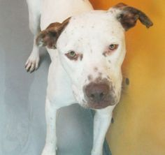 *MAUI-ID#A668147    Shelter staff named me MAUI.    I am a spayed female, white and brown American Pit Bull Terrier.    The shelter staff think I am about 1 year and 2 months old.    I have been at the shelter since Oct 29, 2012.