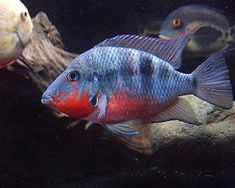AquA AnimaniA is your trusted local source for Firemouth Cichlid - Thorichthys meeki Cichlid Aquarium, Cichlid Fish, Fish Aquariums, Tropical Aquarium, Tropical Fish, South American Cichlids, Oscar Fish, Fish Breeding, Salt Water Fish
