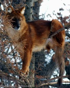 ☀Tree Dogs... An Asiatic Wild Dog or Dhole. Very interesting and endangered dog of the genus Cuon, not Canis.