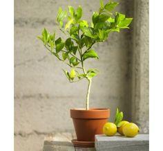 traditional plants by VivaTerra, Myer lemon tree
