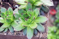 Mnozí z nás doma pěstují známou aloe vera, protože věří, že jim dokáže pomoci s řadou zdravotních potíží. A je to také pravda. Ale existuje rostlina, která toho umí ještě víc! A pěstovat doma ji můžete úplně stejně. Tento malý zázrak se nazývá netřesk střešní. Kdysi se pěstoval na střechách domů, protože se věřilo, že … Aloe Vera, Flora, Succulents, Projects To Try, Food And Drink, Herbs, Gardening, Health, Dna