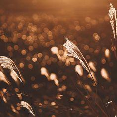 ・ ・ ・ ・ きっと綺麗な景色 教えたくて撮るんだろうな ・ ・ ・ ・ 同じ季節がまた来たよ( ´•౪•`) #nat_archive#princely_shotz#goexplore#splendid_people#macrophotography#naturephotography#artofvisuals#lifeofadventure#ig_captures#igmasters#bokehlights#landscape#Shoot2kill#薄#すすき#sunset#autumn