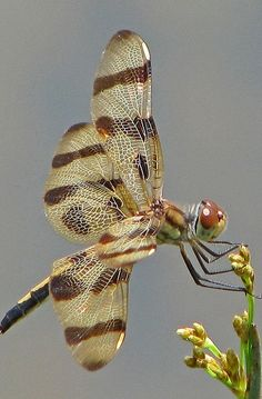 Miss Halloween spreading her wings in rare sunshine Dragonfly Photos, Dragonfly Art, Flying Insects, Bugs And Insects, Beautiful Bugs, Beautiful Butterflies, Cool Bugs, Chenille, Primates