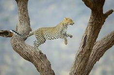 Leopard Leaping to the Other Side of the Tree.